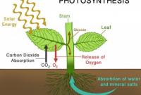 Pengertian Fotosintesis dan Proses Terjadinya
