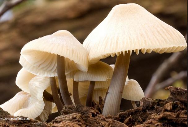Pengertian Jamur, Ciri-ciri, Jenis, Reproduksi, Contoh dan Fungsi Jamur