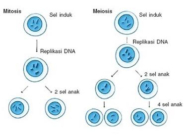 Pengertian Mitosis dan Meiosis Lengkap !