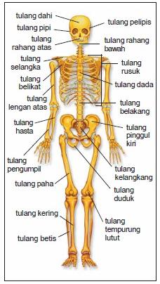 Sistem Gerak Pada Manusia | Fungsi, Jenis-Jenis dan Kelainan Pada Tulang dan Otot !