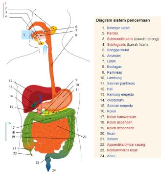Sistem Pencernaan Pada Manusia, Organ-Organ, dan Gangguan Pencernaan !